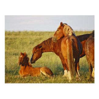 Wildes PferdeEquus caballus) erwachsenes Riechen Postkarte