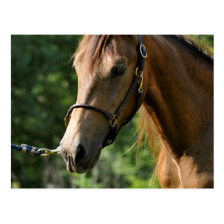 Wildleder-Morgan-Pferd Postkarte