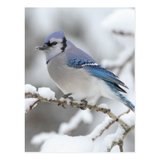 Winter-Blau-Jay Postkarte