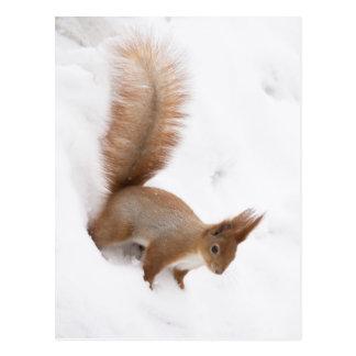 Winter-Eichhörnchen Postkarten
