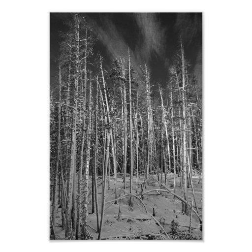 Winter-Kiefern in Yellowstone Foto