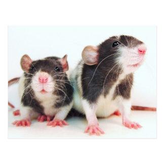 Wirkliche Frauen besitzen Ratten! Postkarte