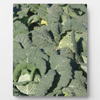 Wirsingkohl-Pflanzen auf einem Gebiet Fotoplatte