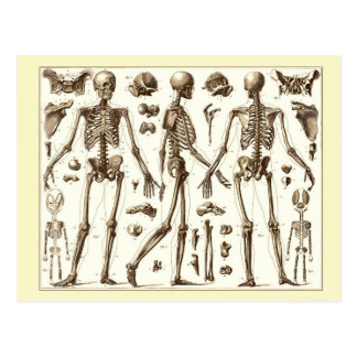 Wissenschaftliche Illustration des menschlichen Sk Postkarten