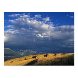 Wo der Büffel Postkarte durchstreifen