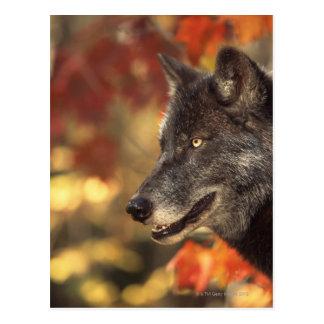 Wolf 2 postkarte