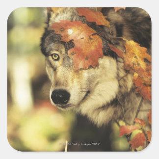 Wolf (Canis Lupus), Headshot, mit Herbstfarbe, Quadratischer Aufkleber