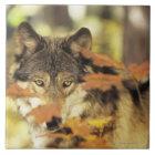 Wolf (Canis Lupus) mit Herbstfarbe, Kanada Keramikfliese