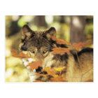 Wolf (Canis Lupus) mit Herbstfarbe, Kanada Postkarte