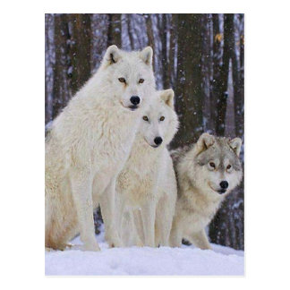 Wolf-Familie Postkarte