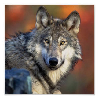 Wolf-Fotografie Poster