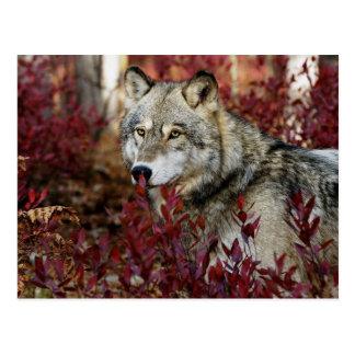Wolf im roten Laub Postkarte