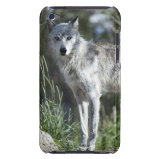 Wolf in Yellowstone iPod Touch Hülle