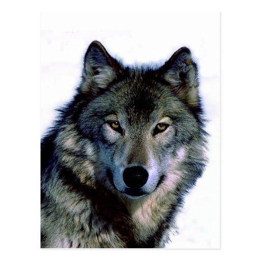 Wolf-Porträt Postkarte