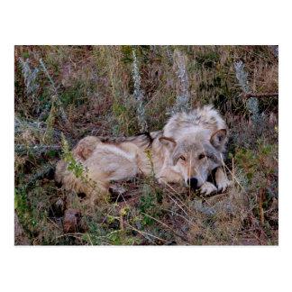 Wolf-Stillstehen Postkarte