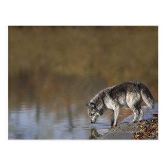 Wolf-Trinkwasser von einem Teich Postkarten