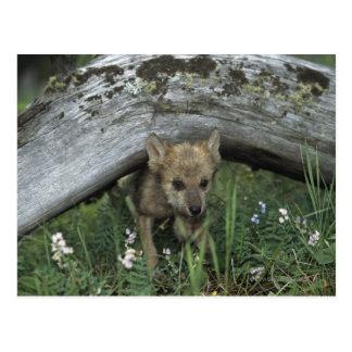 Wolf-Welpe, der unter Klotz geht Postkarte