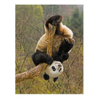 Wolong Panda-Reserve China 2 1 2 Jahr alt Postkarte