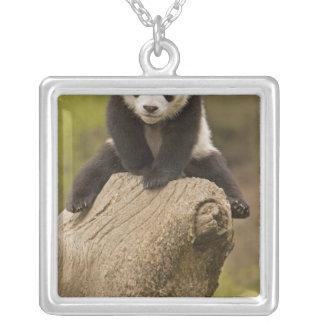 Wolong Panda-Reserve, China, Baby-Panda auf die Versilberte Kette