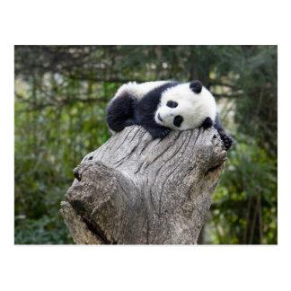 Wolong Reserve, China, Babypanda schlafend Postkarte