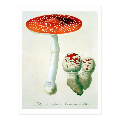 "Wulstling Muscaria von ""Phytographie Medicale"" dur Postkarte"