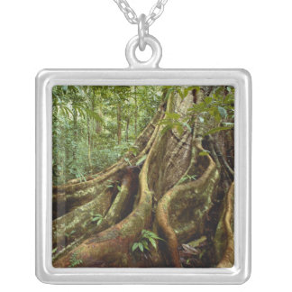Wurzeln und Stamm des Sloanea-Baums Versilberte Kette