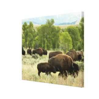 Wyoming-Bison-Natur-Tier-Fotografie Leinwanddruck