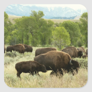 Wyoming-Bison-Natur-Tier-Fotografie Quadratischer Aufkleber