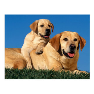 Yellow Labradors Postkarte