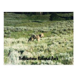 Yellowstone-Kojote Postkarte