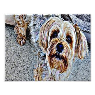 Yorkie Yorkshire Terrier gefärbt Fotodruck