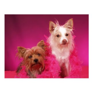 Yorkies und rosa Boas Postkarte
