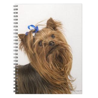 Yorkshire Terrier/Yorkie. Lebhafte Zucht von Spiral Notizblock
