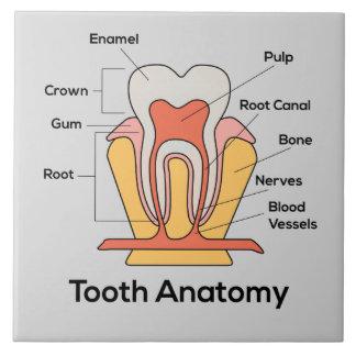 Zahn-Anatomie-Diagramm Fliese