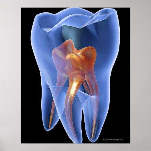 Zahn, transparenter Querschnitt eines Molars Posterdruck