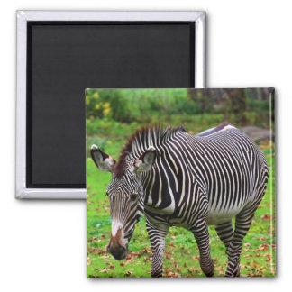 Zebra-Foto Quadratischer Magnet