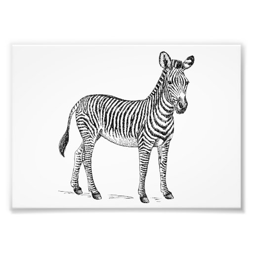Zebra Fotografische Drucke