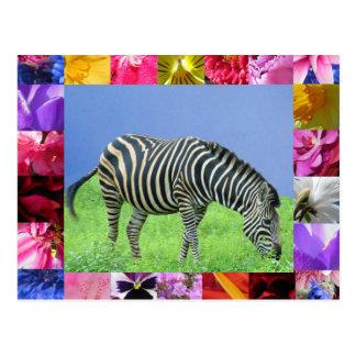 Zebra-Postkarte Postkarte
