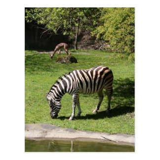 Zebra und Gazelle Postkarte