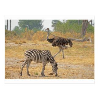 Zebra und Strauß TomWurl.jpg Postkarte