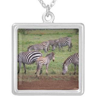 Zebras auf den Serengetti Ebenen, Equus Quagga, Versilberte Kette