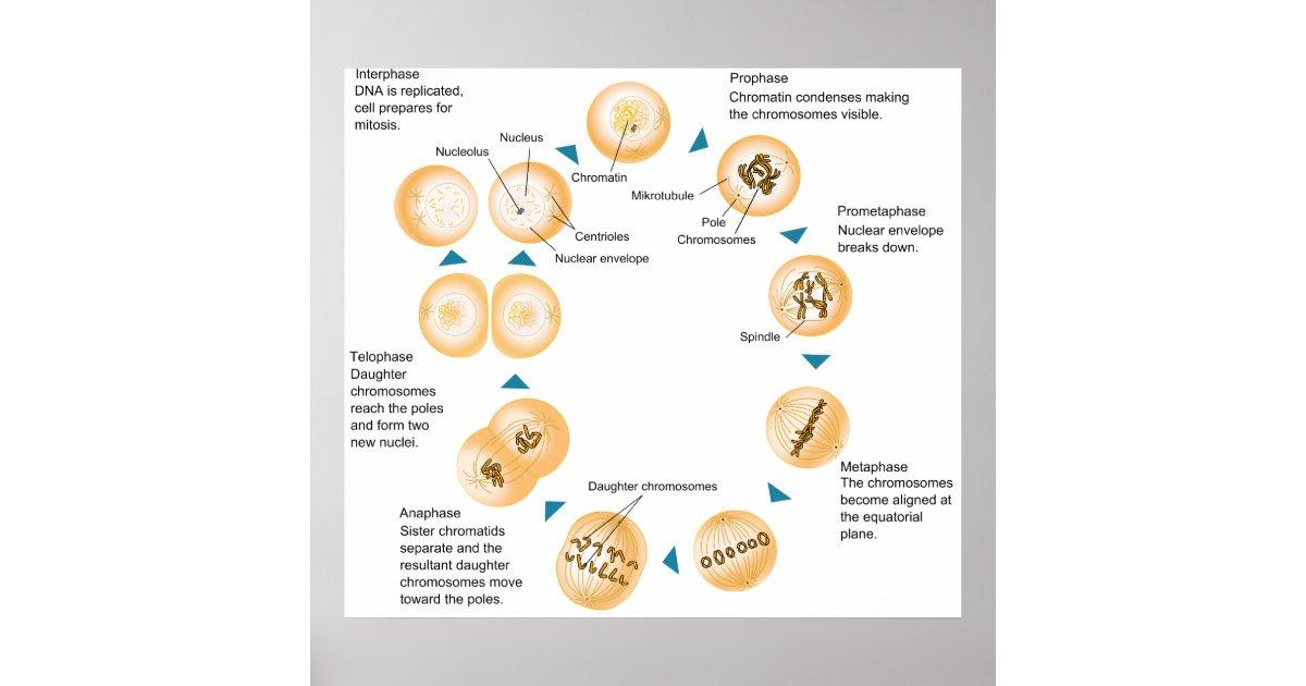 Zelluläre Mitose-schematisches Diagramm Poster | Zazzle