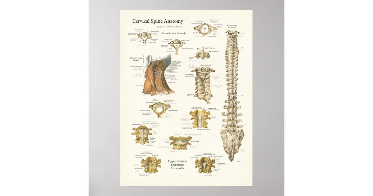 Zervikales Dorn-und Wirbel-Anatomie-Plakat Poster   Zazzle