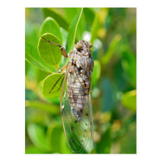 Zikade auf Blatt Postkarte