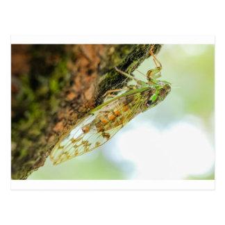 Zikadeninsekt Postkarte