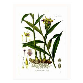 Zingiber officinalis (Ingwer) Postkarte