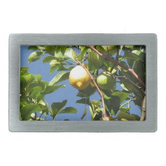 Zitrone trägt Früchte, hängend am Baum gegen den Rechteckige Gürtelschnalle