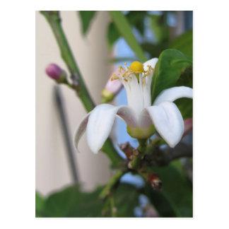Zitronenbaum-Blume und -Blätter Postkarte