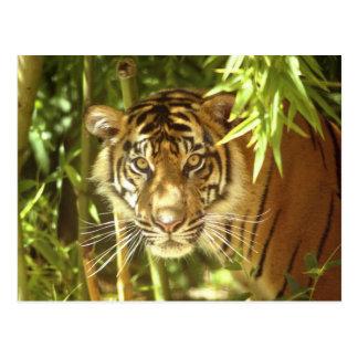 Zoo Kaliforniens, San Francisco, Sumatran Tiger Postkarte