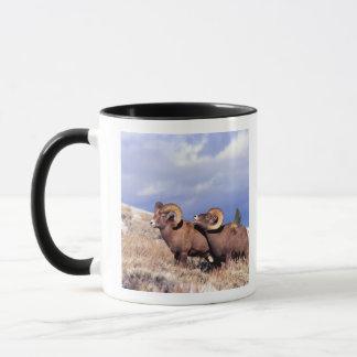 Zwei Bighorn-RAMs Ovis canadensis) auf grasartigem Tasse